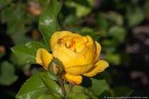 Dehner-Rose