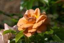 Die Rose Aprikola