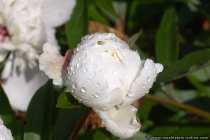 Pfingstrose - White peony