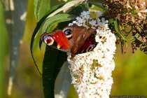 Die Unterseite der Flügel ist fast schwarz, so dass auf dunklen Verweilstellen der Schmetterling fast unsichtbar wird.