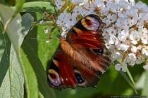 Schmetterling des Jahres 2009. Tagpfauenaugen besitzen keine Erfahrungen mit Blüten und finden Nahrung anhand Ihres Geruchssinnes. Erfolgt ein Fehlschlag bei der Nahrungssuche, wird der Geruchssinn neu ausgerichtet und angepasst.