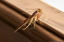 Mehlzünsler leben zirka 10 Tage und können bei guten Bedingungen ganzjährig in Erscheinung treten. Die Falter haben eine Flügelspannweite von bis zu 3 Zentimeter mit einer Körperlänge von 1,5 Zentimeter. Die Raupen verspinnen Mehlprodukte zu Klumpen und machen sie damit ungenießbar.