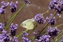 """Der Schmetterling mit den weißgelblichen Flügeln ähnelt einem Zitronenfalter und doch ist es ein Kohlweißling. Zu erkennen an den dunklen Flügelspitzen und dem schwarzen runden Fleck """"Apikalfleck"""" auf dem Vorderflügel. Er wird auch gerne verwechselt mit dem Karstweißling. Diese beiden Schmetterlinge aus der gleichen Familie unterscheiden sich nur in der Größe und Form des Apikalflecks."""