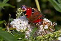 Der Schmetterling Tagpfauenauge mit wissenschaftlichen Namen Aglais io stammt aus der Familie der Edelfalter und wurde Schmetterling des Jahres 2009. An den wunderschönen Augenflecken auf den Flügelspitzen der Hinter- und Vorderflügel kann der Tagschmetterling leicht bestimmt werden. [EOS5D Mark4   ISO640   f10   1/800s   100mm]