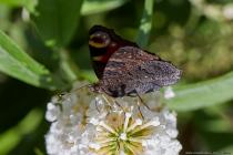 Die Raupe des Tagpfauenauges besitzen einen schwarzen Körper mit vielen weißen kleinen Punkten. Der Körper weist schwarze Dornen auf und der Kopf ist ebenfalls schwarz ohne weiße Punktzeichnung. Im Ruhezustand werden die Flügel zusammengeklappt und der Edelfalter sieht dann aus wie ein dürres Blatt oder eine Baumrinde. Nähert sich ein Feind werden die Flügel ruckartig auseinandergeklappt, wobei ein zischendes Geräusch erzeugt wird. Die großen Augenflecke schrecken Vögel zurück, da den Fressfeinden ein sehr großes Tier zu den Augen vorgetäuscht wird. [EOS5D Mark4   ISO640   f10   1/640s   100mm]