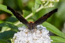 Mit den leicht hochgeklappten Flügeln kann sich der Schmetterling an dunklen Stellen, wie an einer Baumrinde, perfekt tarnen. [EOS5D Mark4 | ISO640 | f13 | 1/640s | 100mm]