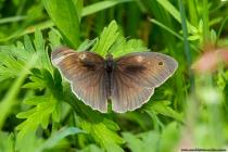 Der Edelfalter das Große Ochsenauge ist ein Schmetterling mit wissenschaftlichen Namen Maniola jurtina und erreicht eine Flügelspannweite von 40 bis 50 Millimetern. Die männlichen Falter können an ihren Flügeloberseiten bestimmt werden, da diese im Gegensatz zu den Weibchen, fast einfarbig und dunkelbraun gefärbt sind. Mit bis zu 40 Tagen Lebenszeit erreichen die weiblichen Edelfalter ein hohes Alter. Die Schmetterlinge können von zirka März bis September beobachtet werden. [EOS5D Mark4   ISO640   f10   1/250s   100mm]