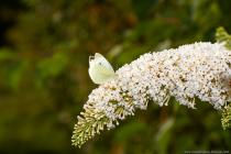 Der kleine Kohlweißling ist ein Frühlingsbote und zeigt sich schon früh im Jahr in Parks, Gärten, lichten Waldrändern und auf blütenreichen Wiesen. [EOS5D Mark4 + EF100L Macro IS USM   ISO400   f10   1/1600s   100mm]