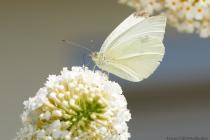 Der kleine Kohlweißling mit wissenschaftlichen Namen Pieris rapae gehört zu den tagaktiven Schmetterlingen aus der Familie der Weißlinge. Der große und der kleine Kohlweißling sehen sich zum Verwechseln ähnlich. [EOS5D Mark4 + EF100L Macro IS USM   ISO500   f10   1/800s   100mm]