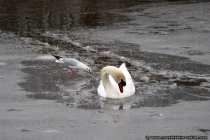 Ein Schwan kämpft sich durch das Eis