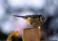 Meisenvogel - Blaumeise auf einem Holzstamm - Blue tit sitting on a log
