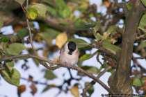 Sumpf- und Nonnenmeise auf einem Baumast - Marsh Tit [Poecile palustris] on a tree branch