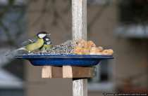 Kohl und Blaumeise - Great Tit and Tomtit (Blue Tit)
