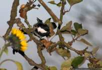 Trauermeise auf einem Ast - Sombre Tit on a tree branch