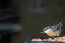 Kleiber auch als Spechtmeise bekannt - Nuthatch (Genus Sitta) on the feed lot