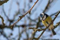 Blaumeise mit Punkfrisur - Blue Titmouse with punk hairstyle