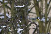 Blaumeise bei frostigen Temperaturen und Schneeschauer auf einem Ast