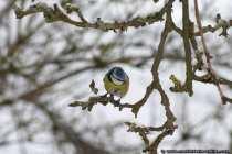 Blaumeise im Winter sucht nach Nahrung