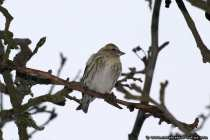 Der Erlenzeisig gehört zur Familie der Finken. In den Wintermonaten fliegen die meisten (Carduelis spinus) Vögel eher in den Süden.