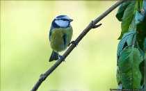 Die kleinen Piepmätze, hier eine Blaumeise, fliegen dann auch irgendwann die Äste und Zweige an, welche um das Vogelhaus gesetzt wurden. Das Bild entstand bei einer Distanz um die 2-3 Meter.