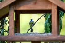 Eine Blaumeise auf einem Ast hinter dem Vogelhaus. Es wird natürlich Vogelfutter benötigt, damit die Vögel das Futterhaus anfliegen. Wer sich jetzt mit Stativ und Kamera vor das Vogelhaus setzt, darf sich nicht wundern, wenn kein einziger Vogel zu Besuch kommt. Tarnung ist das A und O. Es gibt Tarnzelte für Wildlife-Fotografie, Tarnkleidung zum Fotografieren, oder man wird kreativ und tarnt sich samt Equipment mit Laubästen. Jetzt benötigt man nur noch Geduld, denn die veränderte Umgebung, muss erst inspiziert werden.