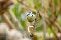 Die kleine Blaumeise ist in Mitteleuropa eine sehr häufig anzutreffende Vogelart der Gattung Cyanistes und durch sein blau-gelbes Gefieder sehr leicht zu bestimmen. [EOS5D Mark4 | ISO2000 | f5,6 | 1/400s | 400mm]