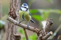 Die putzige Blaumeise kann häufig in Kleingärten und Parkanlagen beobachtet werden. Ihr bevorzugter Lebensraum sind Laub- und Mischwälder mit hohem Eichenanteil.  [EOS5D Mark4 | ISO4000 | f5,6 | 1/800s | 400mm]