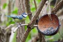 Die Blaumeise versucht in Baumhöhlen zu brüten, da der Höhlenbestand aber selten geworden ist, nimmt der kleine quirlige Singvogel auch gerne Nistkästen für seine Brut. Bis zu 15 Eier werden in 15 Tagen von April bis Juni ausgebrütet. Zirka weitere 20 Tagen verlassen die Meisen nach dem Schlüpfen nicht das Nest (Nesthocker). Danach werden die Jungmeisen aktiv und beginnen Ihre ersten Flüge.  [EOS5D Mark4 | ISO4000 | f5,6 | 1/800s | 400mm]