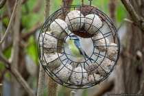 Feinde von den kleinen Singvögeln sind Pestizide, kaltes und eisiges Wetter, Katzen, Marder, Wiesel, sowie Raub- und Greifvögel. Der Greifvogel Sperber ist der gefährlichste Feind bei ausgewachsenen (adulten) Meisen, wobei bei Jungvögeln der Buntspecht ein gefürchteter Nestfeind ist. Der Buntspecht kann das Einflugloch in Baumhöhlen vergrößern, oder hackt sich einen anderen Zugang zur Brut. Bei Nistkasten sind die Verlustzahlen deutlich geringer als bei Naturhöhlen.  [EOS5D Mark4 | ISO4000 | f5,6 | 1/800s | 400mm]