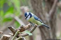 Kein anderer Singvogel in Europa als die Blaumeise, hat eine hell- bis dunkelblaue Kopfplatte und dies ist ein sehr auffälliges Merkmal. Die Meise kann das blaue Gefieder am Kopf zu einer kleinen aufgewölbten Haube aufstellen. Das Aufstellen der Haube geschieht meistens während und zur Paarungszeit.  [EOS5D Mark4 | ISO4000 | f5,6 | 1/500s | 400mm]