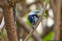 Die Blaumeise (Cyanistes caeruleus) ist ein geschickter Singvogel, welcher sich hängend kopfüber an Astzweige klammern kann, um so Nahrung zu ergattern.  [EOS5D Mark4 | ISO1600 | f5,6 | 1/640s | 400mm]