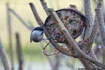 Die Weidenmeise zimmert in morschen Bäumen eine Bruthöhle. Das Brutnest wird mit Tierhaaren, weiche Holzspäne und Moosen ausgestattet. Das Weibchen brütet in dem Nest bis zu neun Eier aus. Von zirka April bis Juni kann die Brut erfolgen.