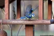 """Die lebhafte Blaumeise ist unter anderem zu erkennen an der blauen Kopfplatte, an den blau gefärbten Flügeln und den blauen Schwanzfedern. Zwischen 10 und 15 Gramm bringen erwachsene Blaumeisen """"Cyanistes caeruleus"""" auf die Waage. Mit zwei Jahren ist die Lebenserwartung nicht besonders hoch, dabei können Blaumeisen über 12 Jahre alt werden. Durch die geringe Wintersterblichkeit erreichen Blaumeisen auf den britischen Inseln ein weitaus höheres Alter."""
