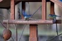Schon bemerkt, dass es Stoßzeiten am Futterplatz gibt? Da sich Singvögel über eine längere Zeitspanne keine Nahrung- und Fettdepots anlegen können, sind sie morgens sehr hungrig. Die kalte und teilweise eisige Nacht hat ihre Energiereserven aufgebraucht und sie benötigen dann am Morgen neue energiereiche Nahrung. Am Nachmittag und in der Dämmerung wird erneut Nahrung aufgenommen, um energie- und erfolgreich die Nacht zu überstehen. Viele Meisen sehen manchmal im Winter pummelig aus, dabei plustern sie ihr Gefieder auf, was eine Art Luftpolstereffekt erwirkt. Dieser Feder-Luftpolstereffekt hält die Kälte ab.