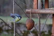 """Es gibt verschiedene Möglichkeiten Singvögel im Flug zu fotografieren. Ich selbst besitzt einen Funkauslöser, welcher wie eine Lichtschranke funktioniert und beim Durchbrechen ein Signal zum Empfänger übermittelt. Dieser Empfänger soll dann die Kamera auslösen """"nie ausprobiert"""". Ich beobachte lieber die Vögel und hoffe auf mein Glück. Manchmal kann man auch erahnen, wann es soweit ist. Wenn die Meise den Futterplatz anfliegt und die kernige Nahrung aufnimmt kann man nun jeden Moment damit rechnen, dass der Abflug bevorsteht. Auch die Meise auf einem entfernten Ast, die die Futterstelle anvisiert…. 5.. 4.. 3.. 2.. ok verschätzt, vielleicht beim nächsten Mal, so wie bei diesem Bild."""