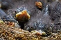 Bei der Fütterung der Nestlinge beteiligen sich beide Elternteile, wobei das Weibchen regelmäßiger und häufiger füttert. Ebenfalls übergibt das Männchen einen Teil seiner Beute an das Weibchen, welches die Beutestücke zum Nest bringt. Auch nach dem Ausfliegen der Jungen werden diese noch 10 Tage, in seltenen Fällen bis zu drei Wochen, durch die Eltern betreut. - Der Hausrotschwanz in Mitteleuropa beginnt zirka zwei Stunden vor Sonnenaufgang mit seinem Gesang und bei gutem Wetter erreicht er dabei über 5000 Strophen mit einer Gesamtgesangszeit von mehr als sechs Stunden.