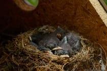Das Brutnest vom Hausrotschwanz ist voluminös mit einem Unterbau und einer tiefen Mulde. Das Nistmaterial wird aus der näheren Umgebung gesammelt, wobei Halme, Moos, Wurzelteile, Flechten, Federn und Papier verwendet wird. Der Nistplatz wird mit Tierhaaren, Federn oder Wolle gepolstert. Die Eier und Nestlinge sind meist gut geschützt und für Nestfeinde schwer erreichbar, dementsprechend sind diese Verluste gering. Ein plötzlicher Kälteeinbruch in Berglagen kann die Sterberate der Nestlinge drastisch erhöhen. Menschliche Störungen führen teilweise zu Totalverlusten der Brut.