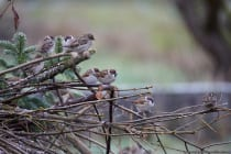 Feldsperlinge warten auf Ihre Gelegenheit um an das Vogelhaus zu fliegen. [EOS5D Mark4 | ISO2500 | f5,6 | 1/800s | 400mm]