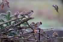 Feldsperlinge beobachten Ihre Kollegen am Vogelhaus. [EOS5D Mark4 | ISO2500 | f5,6 | 1/800s | 400mm]
