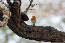 Die Singvögel erreichen eine Körpergröße von bis zu 15 Zentimetern bei einem Gewicht von maximal 20 Gramm.