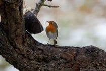 Zwischen den männlichen und weiblichen Rotkehlchen besteht kein visueller Unterschied, lediglich bei den Jungvögeln fehlt die orangerote Färbung und ihre Brust ist braun geschuppt.