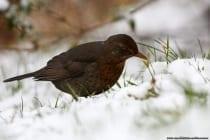 Eine Amsel im Schnee