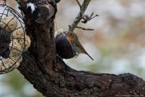 Umgegrabene oder aufgewühlte Erde wird bevorzugt aufgesucht, da der Singvogel hier nach Nahrung suchen kann, wie Würmern.