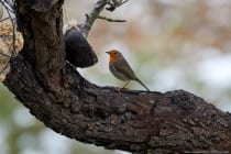 Da bewegt sich nichts, kann man das fressen? Das muss ich noch genauer untersuchen. Das Rotkehlchen ist ein sehr mitteilungsbedürftiger Singvogel mit 275 nachgewiesenen Tonfolgen. Der Gesang ist eine Stunde vor Sonnenaufgang und noch eine Weile nach Sonnenuntergang zu hören.
