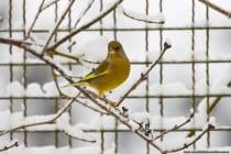 Der Grünfink hat ein grünliches Federkleid mit einem gelben Flügelstreif und markant ist auch sein wuchtiger Schnabel.  [EOS5D Mark4 | ISO800 | f5,6 | 1/1000s | 400mm]