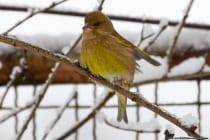Bei der Kälte müssen die Vögel energiereiche Nahrung zu sich nehmen, damit sie den Tag und besonders die Nacht überstehen können.  [EOS5D Mark4 | ISO1000 | f5,6 | 1/1250s | 400mm]