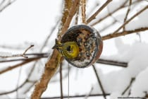 Die Erlenzeisige suchen im Winter nach Futter und mögen zerbrochene Erdnüsse, aber auch Meisenknödel, sowie die hängenden Futterspender gefüllt mit unterschiedlichem Wildvogelfutter und die Kokoshälften mit eigenem energiereichem Vogelfutter wird nicht verschmäht. Die Zeisige brüten von April bis Juni in den Baumkronen von Fichten- und Mischwäldern und sind in dieser Zeit kaum zu sehen. Die kleinen Erlenzeisige können bis zu 11 Jahre alt werden und in Gefangenschaft sogar bis 25 Jahre.  [EOS5D Mark4 | ISO1000 | f5,6 | 1/1000s | 400mm]