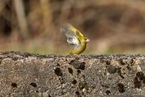 Der Grünfink mit einer Lebenserwartung von 5 Jahren kann ganzjährig in Deutschland gesichtet werden und ernährt sich überwiegend von Samen, Knospen und Beeren. Ölhaltige Sämereien wie Raps mag er besonders gerne. [EOS5D Mark4 | ISO640 | f5,6 | 1/1000s | 400mm IS USM]