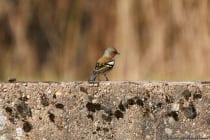 Der Buchfink mit wissenschaftlichen Namen Fringilla coelebs gehört zur Familie der Finken und ist ein weit verbreiteter Sperlingsvogel. [EOS5D Mark4 | ISO640 | f5,6 | 1/1000s | 400mm IS USM]
