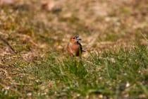 Das Männchen hat ein rotbraunes Brustgefieder mit einer grauen Kopfplatte. Das Weibchen ist grünlich-braun.  [EOS5D Mark4 | ISO640 | f5,6 | 1/1600s | 400mm IS USM]